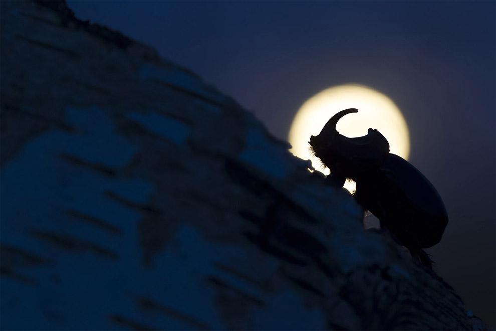 Жук-носорог, ночь и Луна