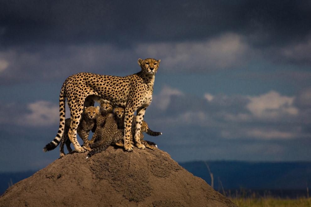 Семья гепардов в Масаи Мара