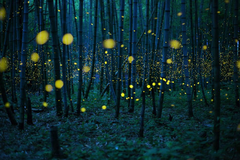 Светлячки в бамбуковом лесу