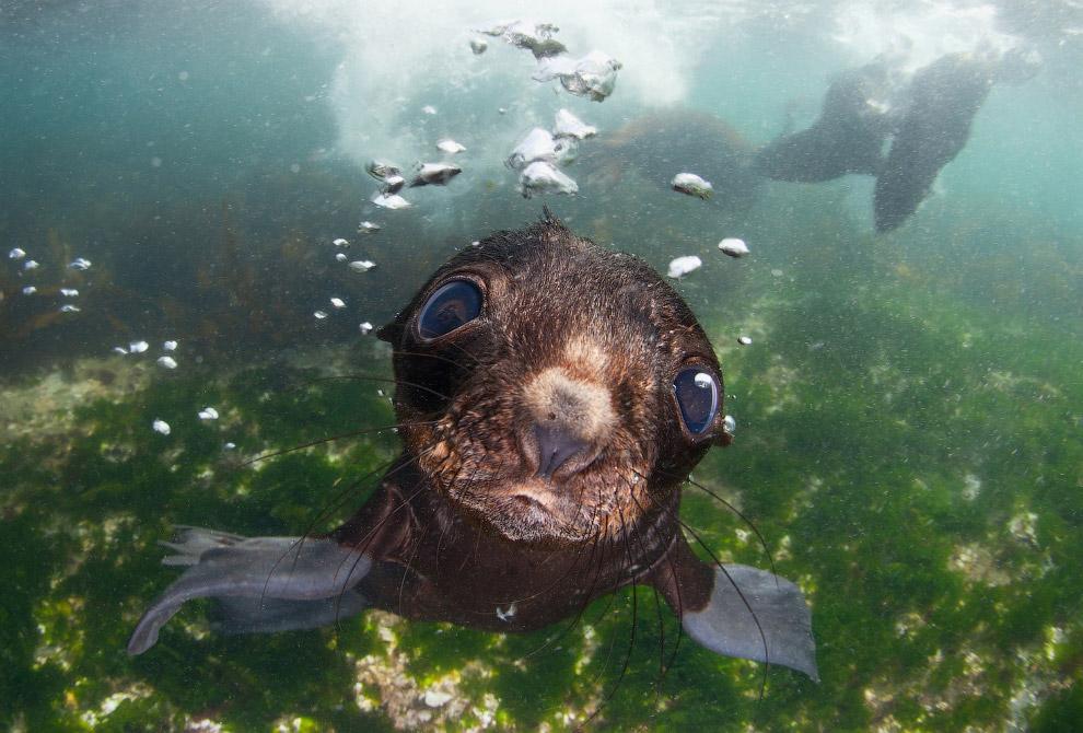 Удивленный морской котик в Беринговом море