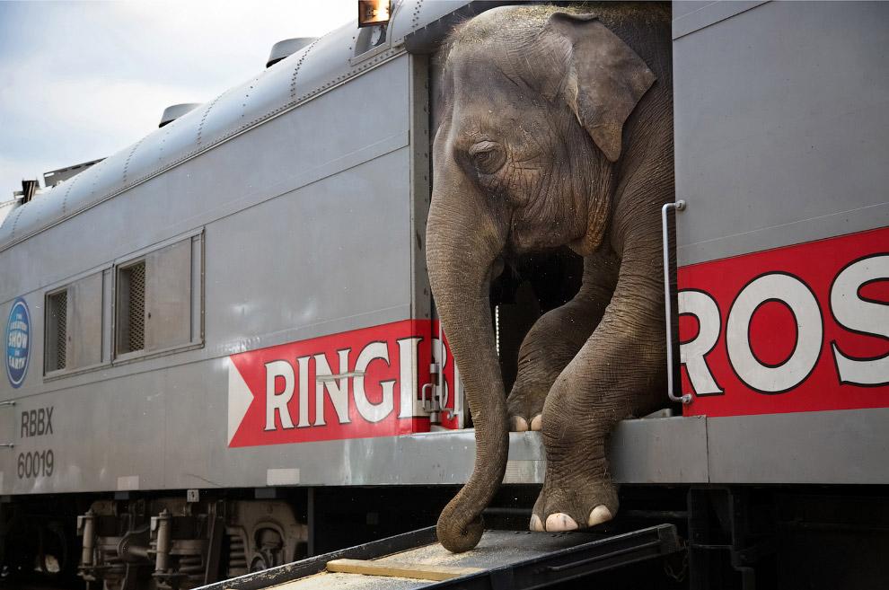 Особенности перевозки цирковых слонов