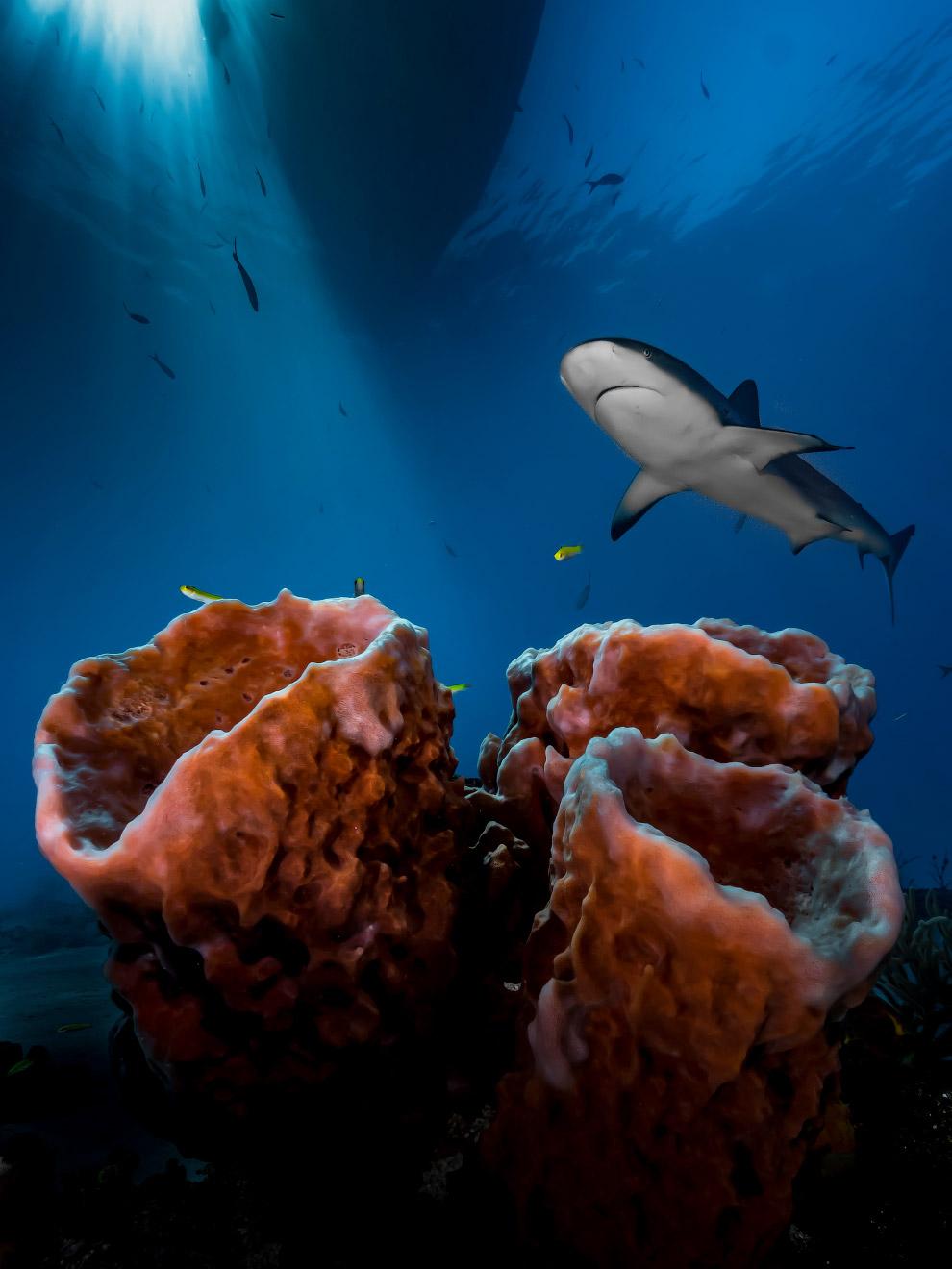 Акула на Багамах