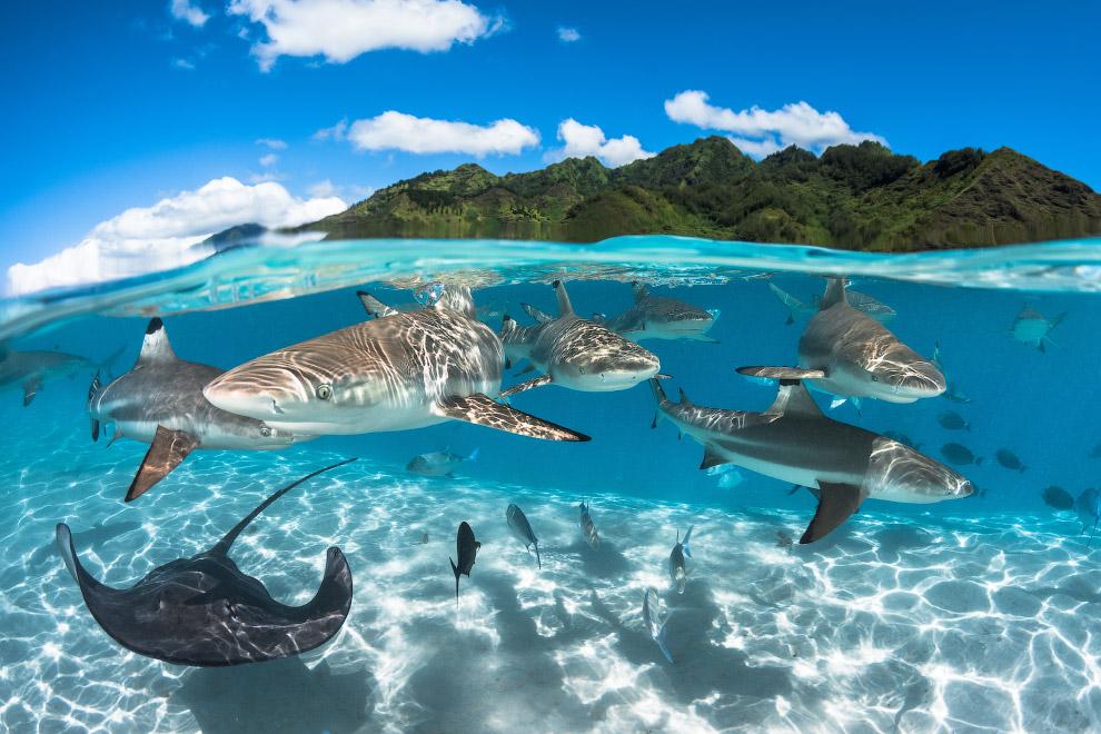 Акулы во Французской Полинезии