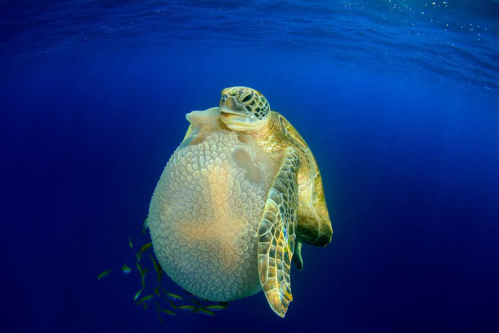 Черепаха, которая ест медузу, Симиланские острова, Таиланд