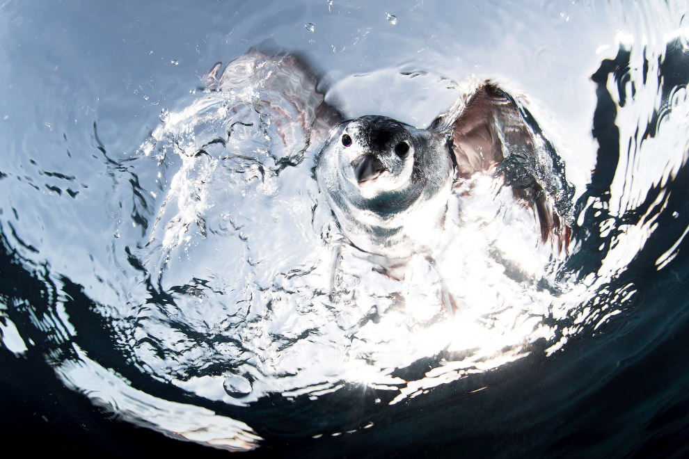 Охотящийся на рыбу гавайской буревестник