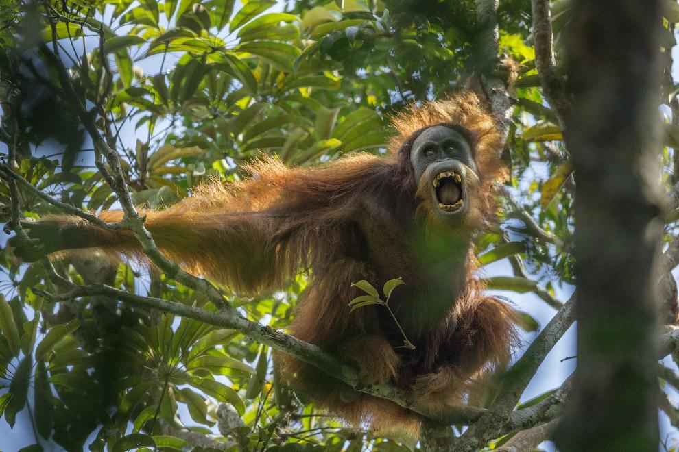 «Трудные времена для орангутанов» Тима Ламана