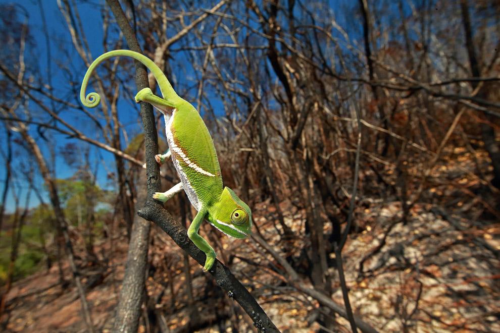 Хамелеон на Мадагаскаре