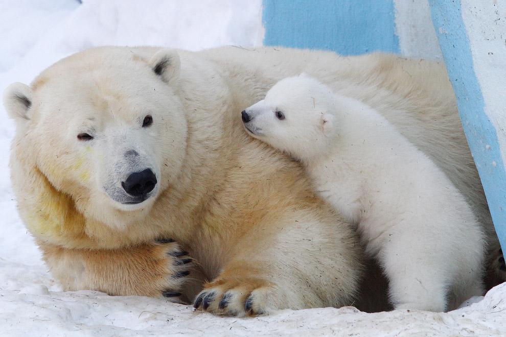 Белые медведи в Новосибирском зоопарке