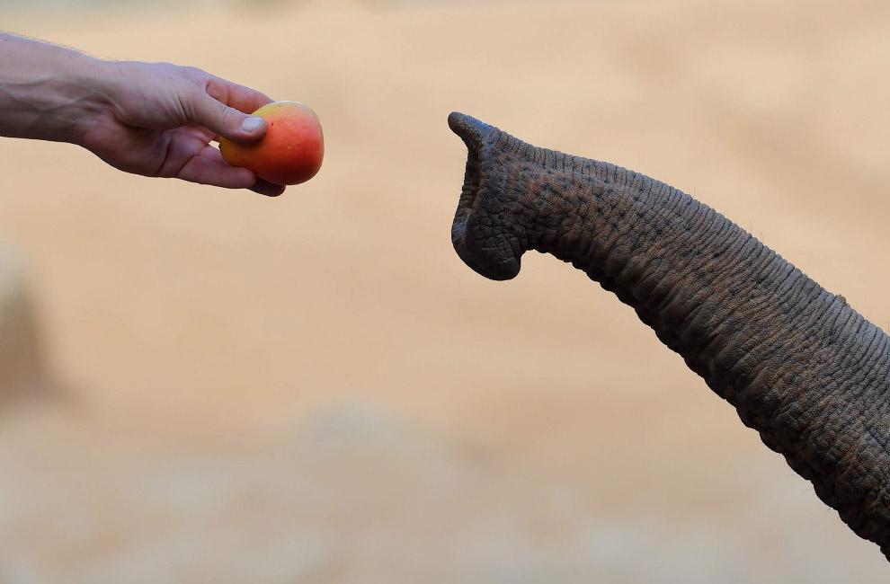 Азиатский слон в зоопарке Мельбурна