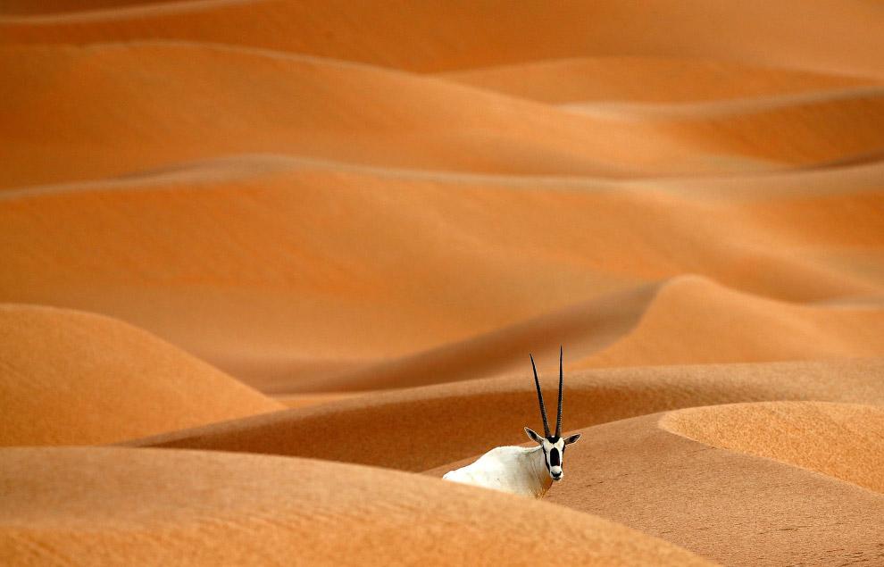 Орикс из вида саблерогих антилоп на границе Омана и Саудовской Аравии