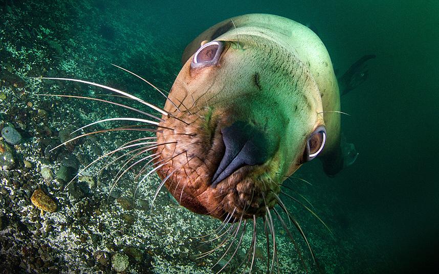 Любознательный морской леву у берегов Британской Колумбии в Канаде