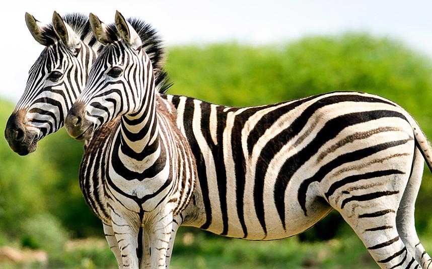 Двуглавая зерба, Южная Африка