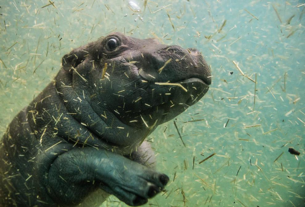 Одномесячный бегемотик в зоопарке в Праге