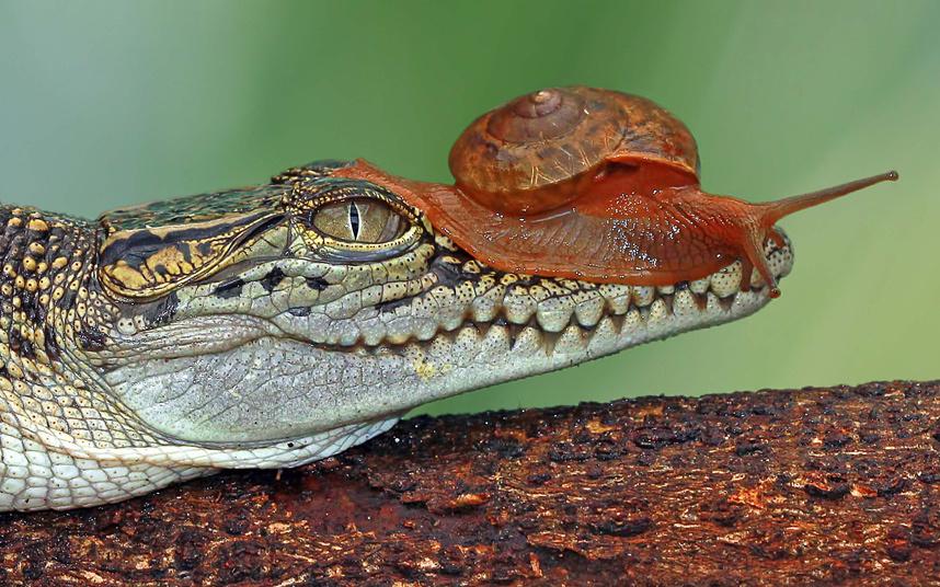 Храбрая улитка на голове маленького крокодила