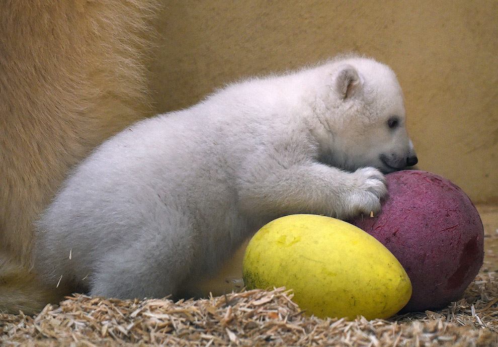 Первый день белого медведя