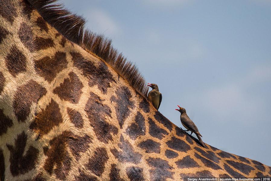 Птички-чистильщики шкурки жирафов