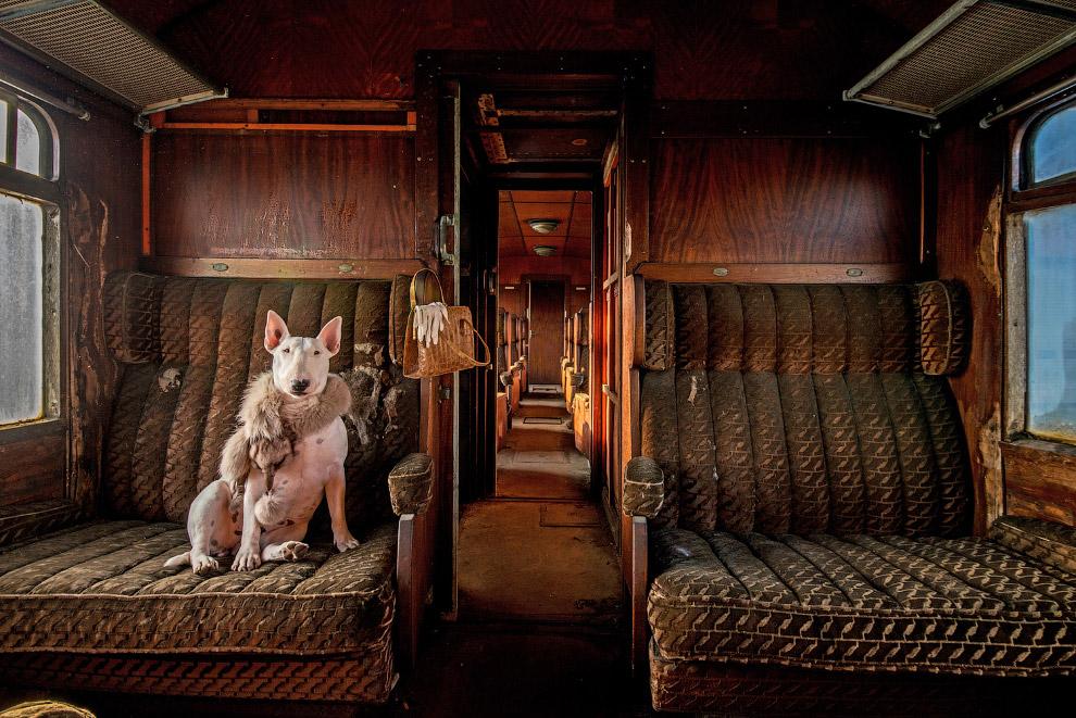 Бультерьер Клэр в заброшенном поезде