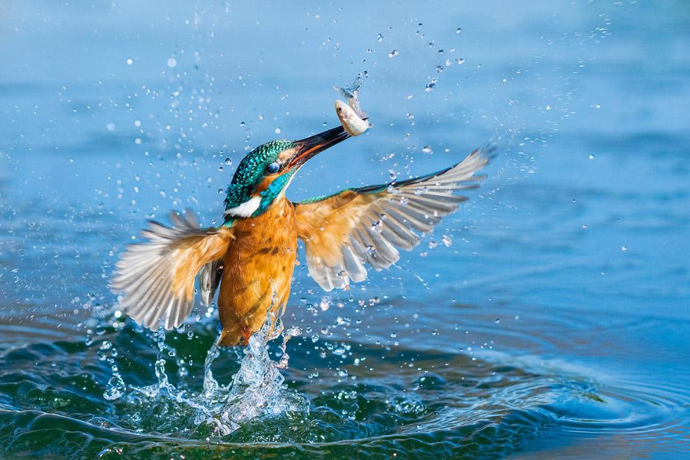 зимородок на рыбалке