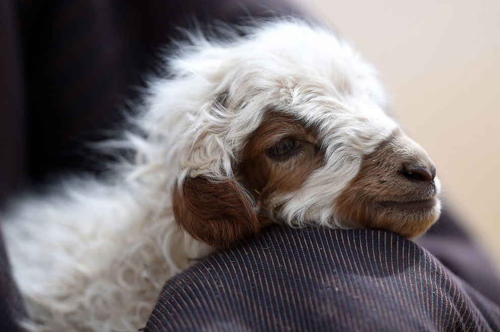 Пастух с барашком, Тибет