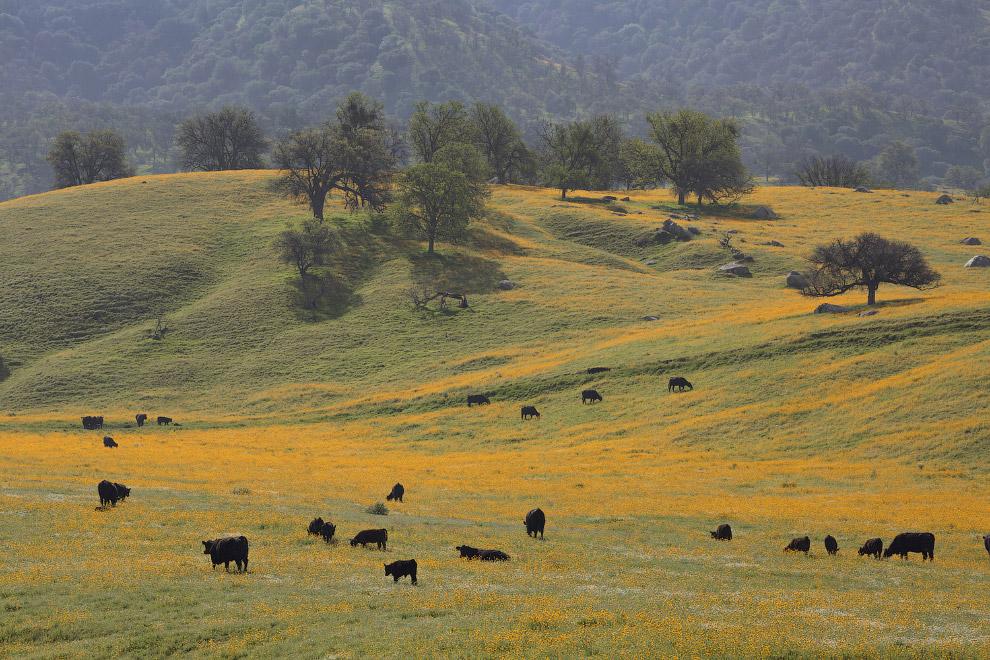 А в Калифорнии всегда весна и коровам благодать
