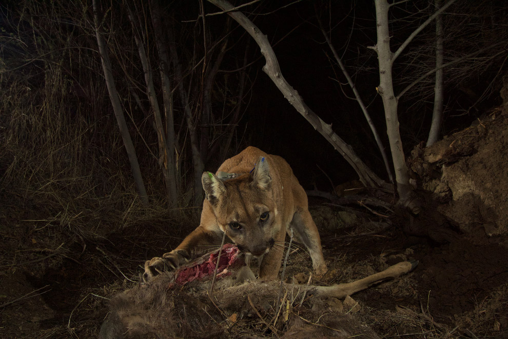 Горный лев ест свою добычу в в Южной Калифорнии