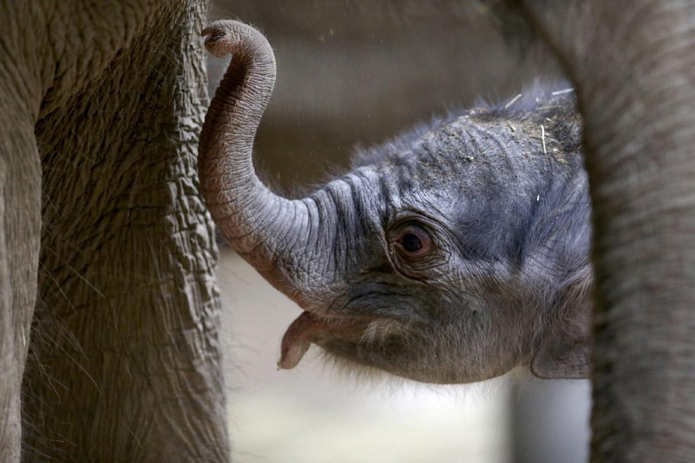 104-килограммовый слоненок в зоопарке в Праге