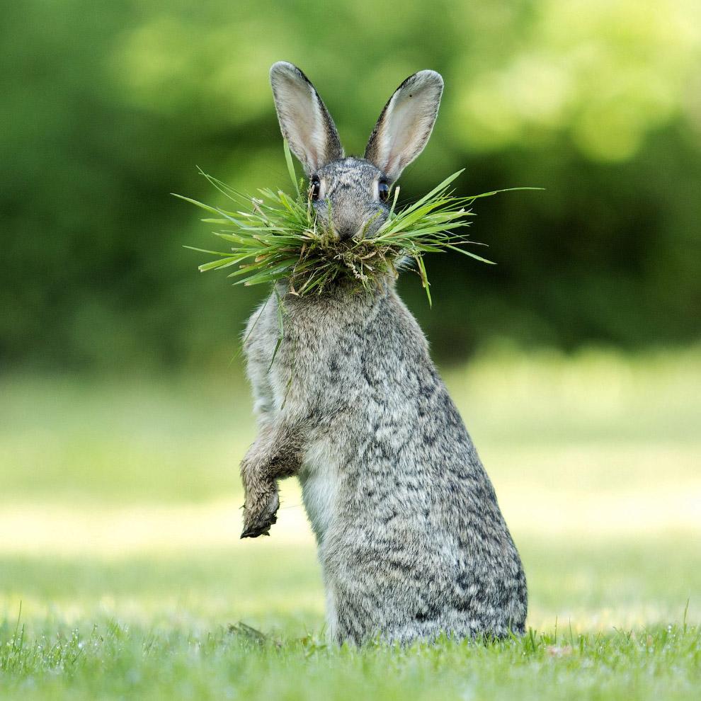 Заяц от души нарвал травы на завтрак в Бельгии