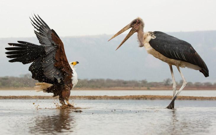 Африканский рыбный орел и марабу