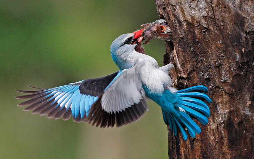 Зимородок принес обед птенцам