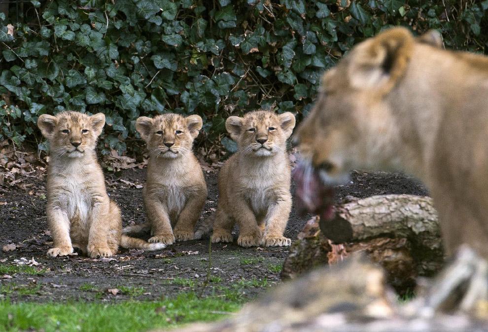 Азиатские львята в зоопарке  в Мехелене, Бельгия