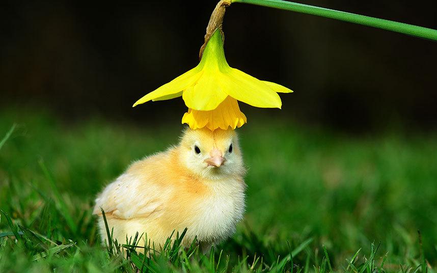Солнечный цыплёнок в в Нортгемптоншире