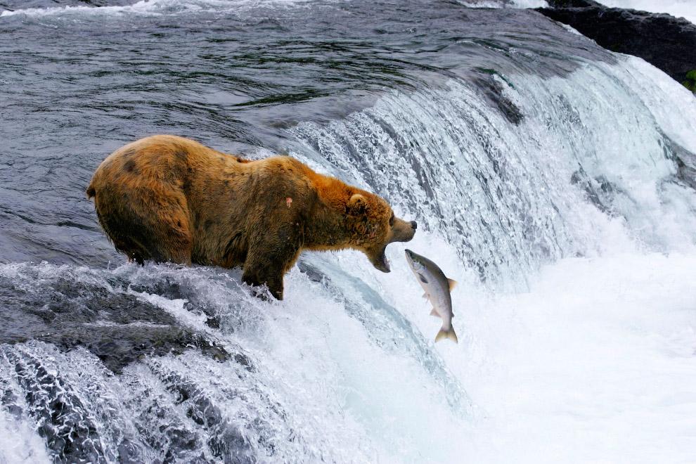 Медведь и лосось на Аляске