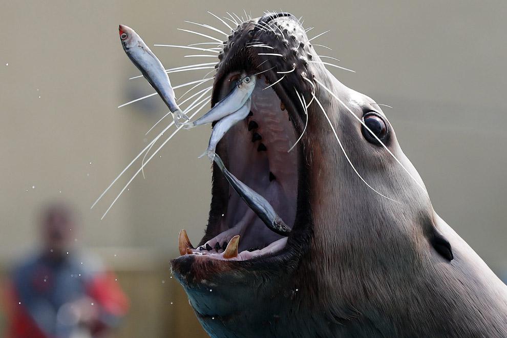 Морской лев ест сардины в парке на юго-востоке Франции