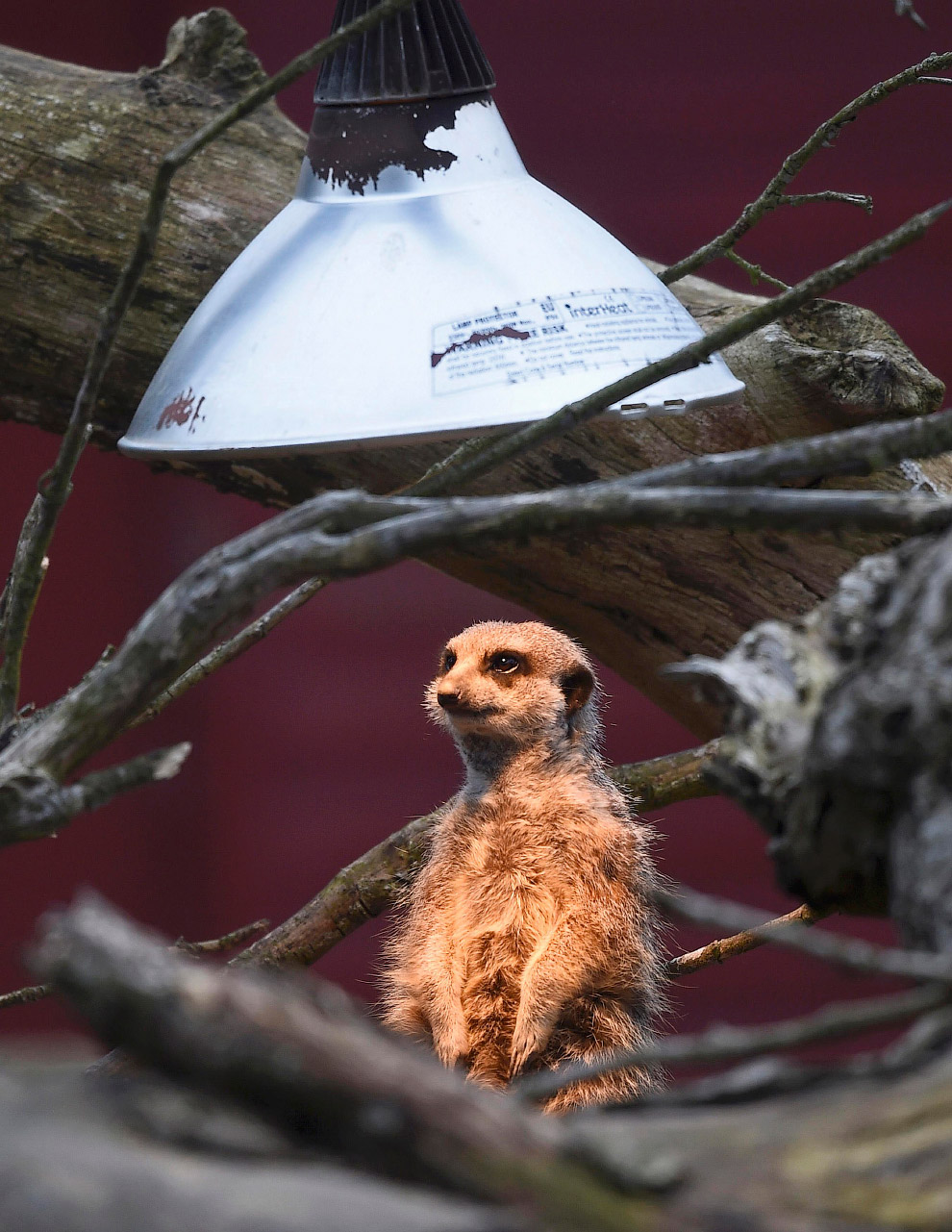 Сурикат в солярии в английском зоопарке