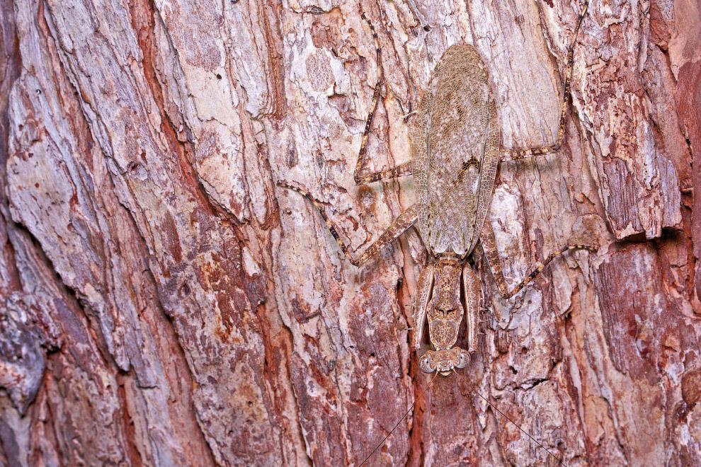 Богомол из рода Dactylopteryx