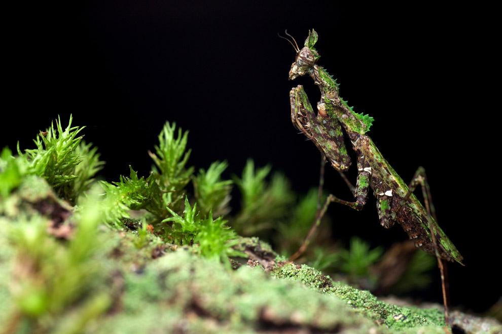 Еще один вид богомолов, который сливается с окружающей средой