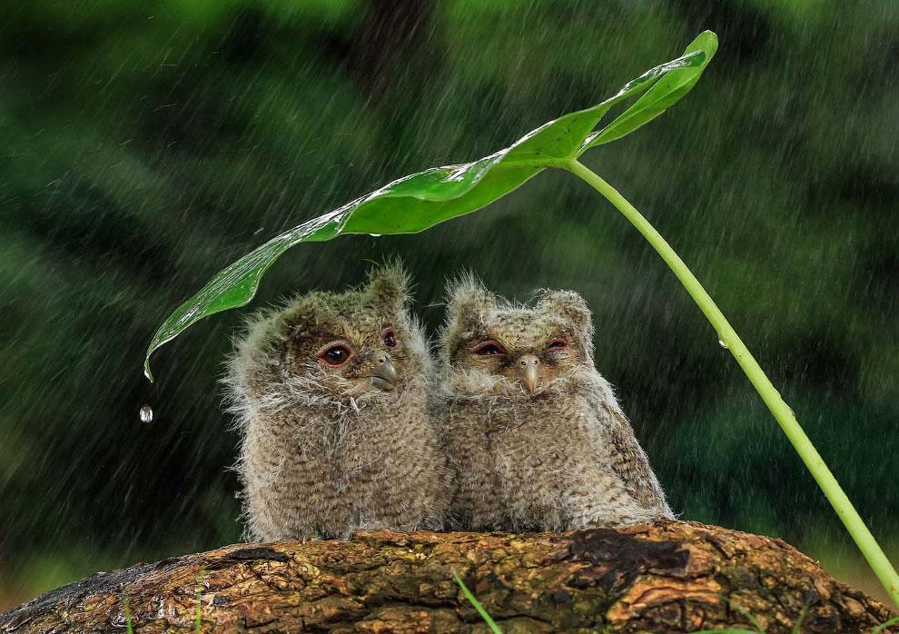 Совы прячутся от дождя в в Джакарте, Индонезия