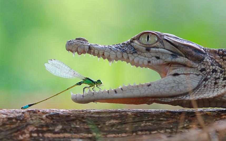 зеленая стрекоза из Индонезии