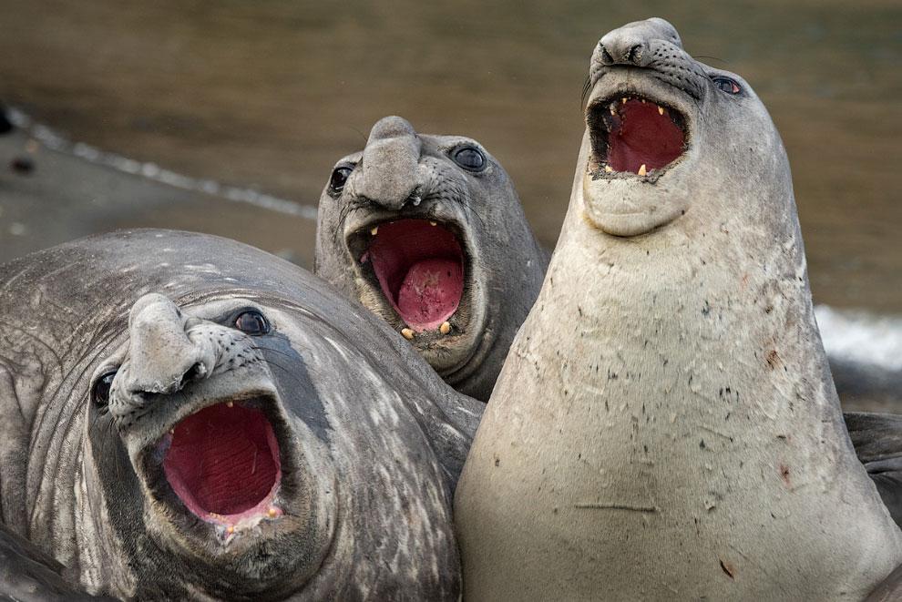Хоровое пение морских слонов на пляже в Южной Георгии