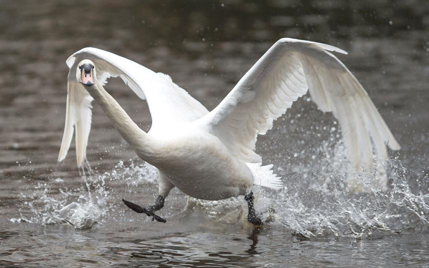 Лебедь готовится к старту на озере в Гамбурге
