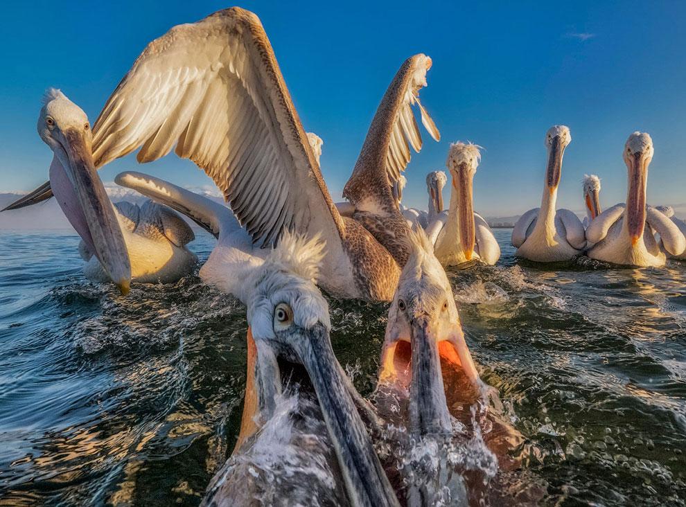 Пеликаны в Греции