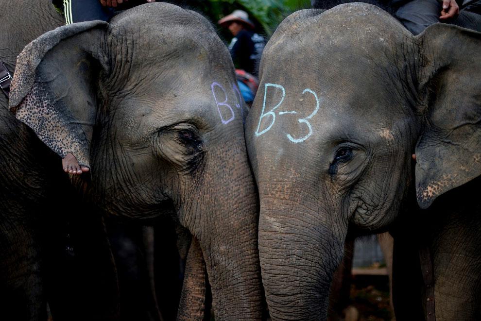Слоны на соревнованиях в Бангкоке