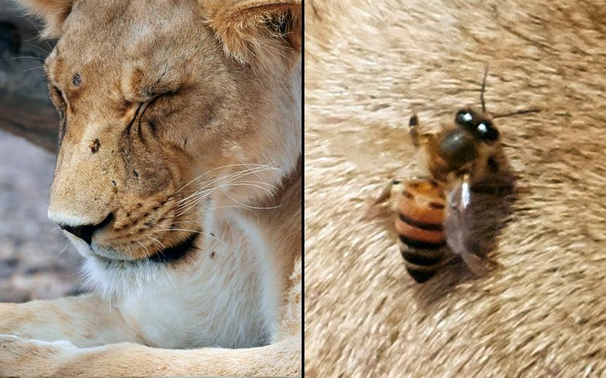 Рой африканских пчел напал на прайд львов в Южной Африке