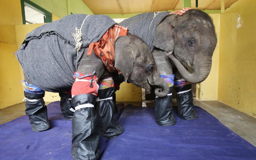 В индийском штате Ассам холодно, пришлось на ночь укутывать маленьких слонов, чтобы не замерзли