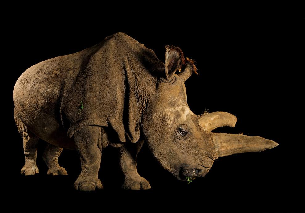Самка северного белого носорога