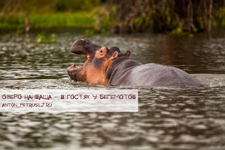 Озеро Наиваша - в гостях у бегемотов