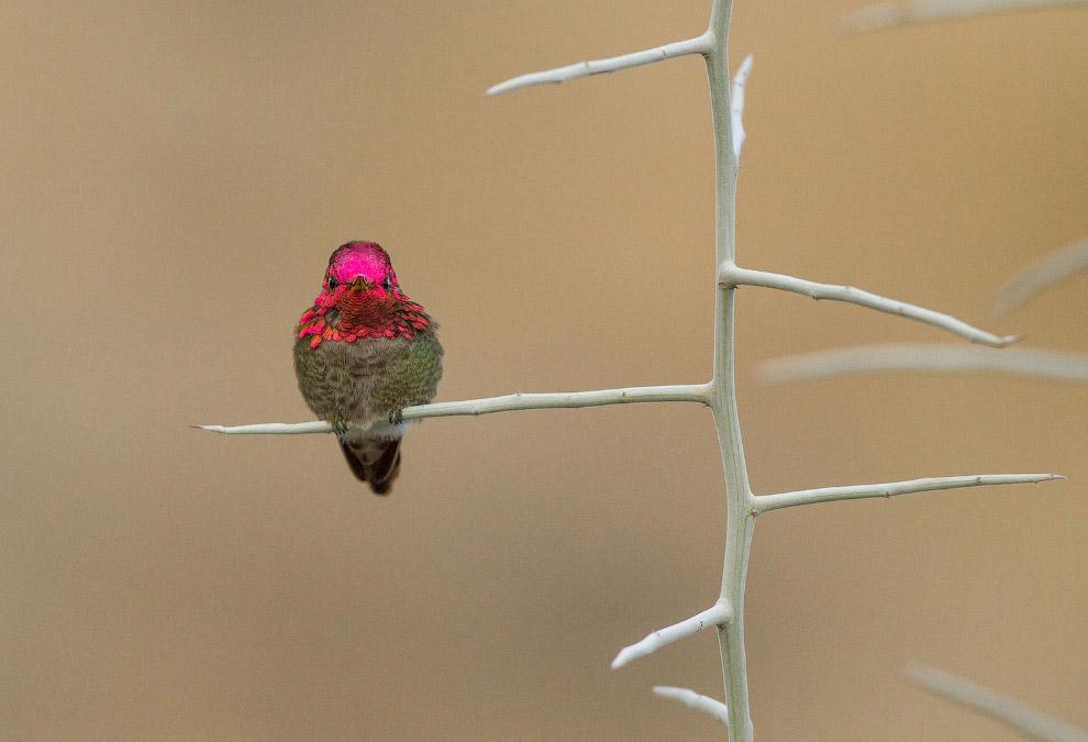 Калипта Анны — птица семейства колибри