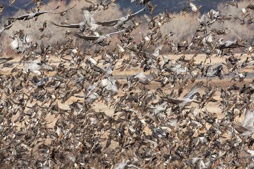 Канадские журавли, шилохвостки и дикие утки