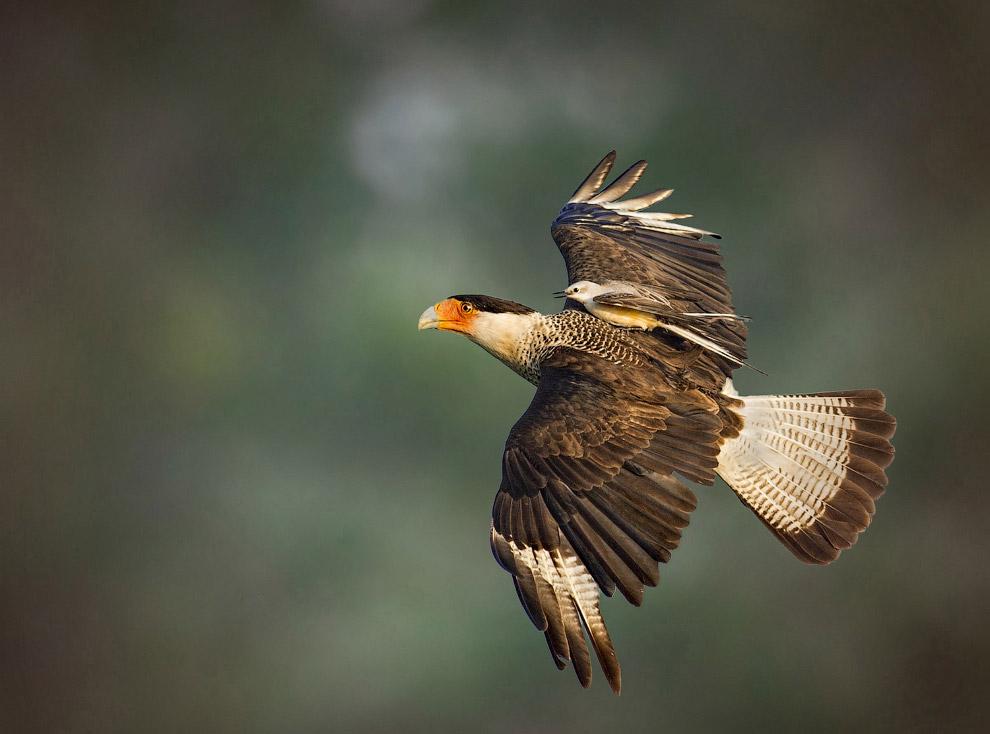 Хищная каракара-каранча и птица из отряда воробьиных