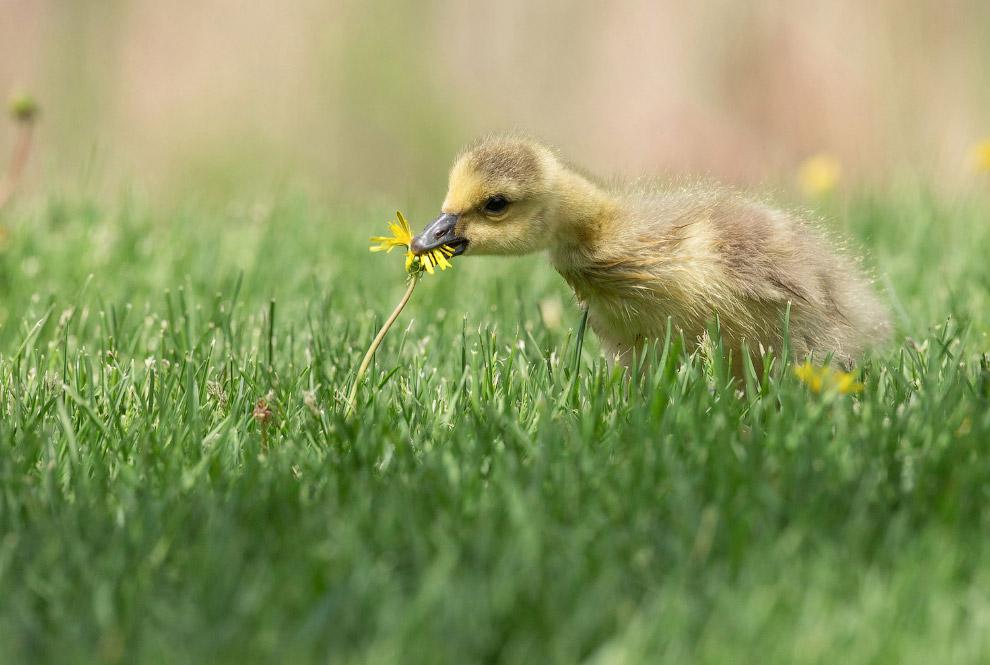 Канадский гусенок